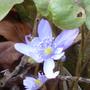 Hepatica transsilvanica (Hepatica transsilvanica)