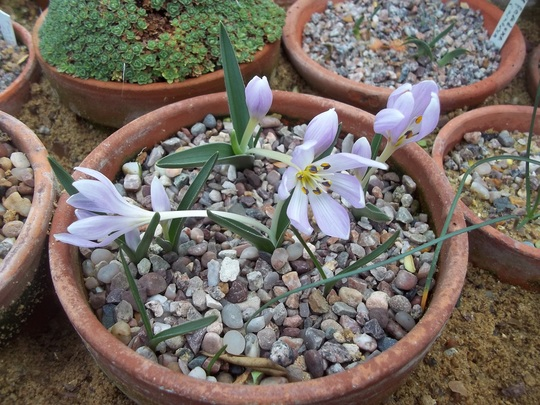 Colchicum hungaricum (Colchicum hungaricum)