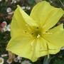 Oenothera macrocarpa (Oenothera macrocarpa)