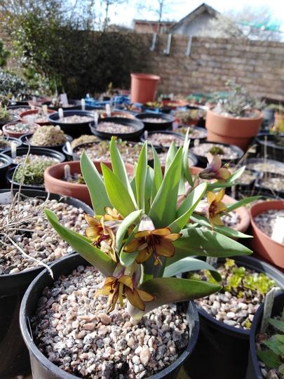 Fritillaria sewerzowii (Fritillaria sewerzowii)