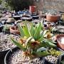 Fritillaria_sewerzowii