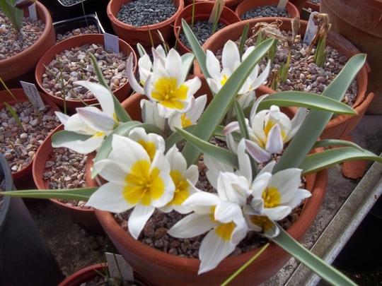 Tulipa polychroma (Tulipa polychroma)