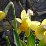 Narcissus 'Spring Sunshine' (Narcissus Spring sunshine)