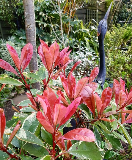Photinia  Louise with Heron... (Photinia x fraseri (Louise....)