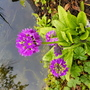 Primula and pond...