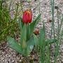 Tulipa_schrenkii