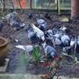 I HAD A LOT OF PIGEONS IN THE GARDEN TODAY.