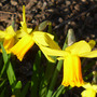 Narcissus Jet fire (Narcissus cyclamineus (Cyclamen-flowered daffodil))