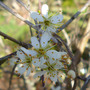 Blackthorn (Prunus spinosa (Blackthorn))