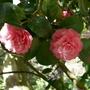 Camellia japonica 'Marguerite Guillon'