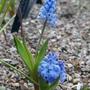 Hyacinthella_dalmatica_grandiflora_2020