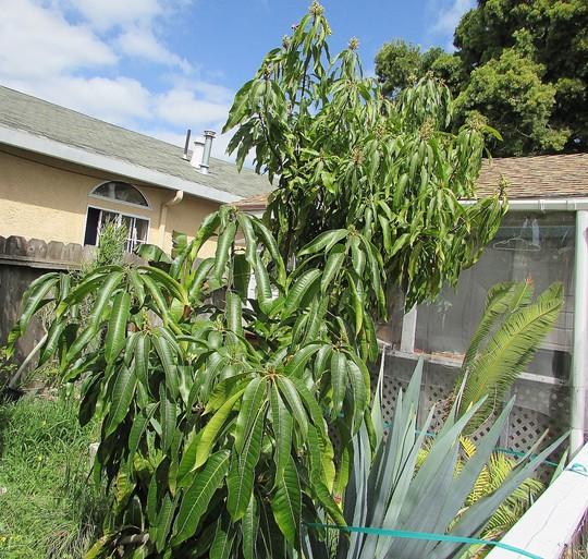 Mangoes in (starting) to bloom. (Mangifera)