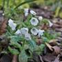 Pulmonaria 'Sissinghurst White' is just starting to flower (Pulmonaria 'Sissinghurst White')