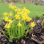 Tete A Tete Narcissi are out all over the garden now.