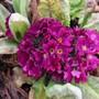 Primula denticulata hugging the earth... (Primula denticulata (Drumstick primula))
