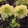 Helleborus 'Golden Lotus'  (Helleborus x orientalis)