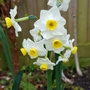 More narcissus....