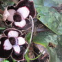 Asarum delavayi flowers (For my File) (Asarum delavayi)