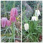 Around the Pond (Fritillaria meleagris (Snake's head fritillary))
