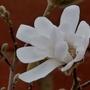 Magnolia_stellata_2020