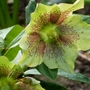 Helleborus_harvington_mellow_yellow