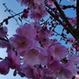 Prunus Accolade..