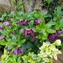 Hellebore and Euonymus...