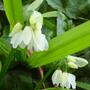 Allium paradoxum var normale (Allium paradoxum var. normale)
