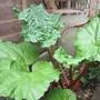 Rhubarb (Rheum rhabarbarum (Rhubarb))