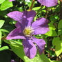 Clematis (clematis x The President)