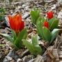 Tulipa praestans 'Fusilier' - 2020 (Tulipa praestans)