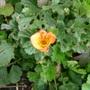 P1070311geum_orange
