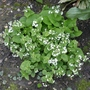 Brunnera macrophylla 'Betty Bowring' - 2020 (Brunnera macrophylla)