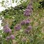 Buddleja Davidii (Buddleja davidii (Butterfly bush))