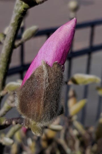 Magnolia bud. (Magnolia)