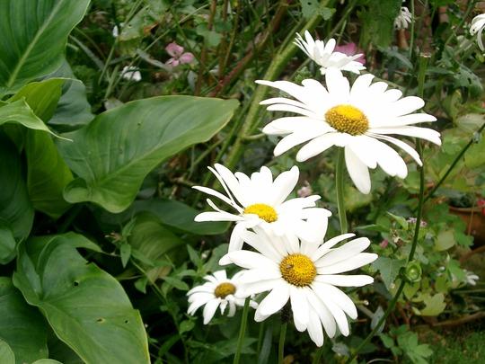 Marguerites (Marguerites,  Arum Lily)