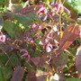 Epimedium Pink Champagne (For my File) (Epimedium Pink Champagne)