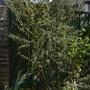 Ribes roezlii - 2020 (Ribes roezlii)
