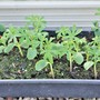Annual Lupins 'Blue Javelin' from seed....All potted on now.