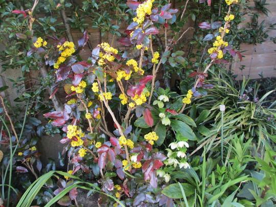 Mahonia aquifolium (Mahonia aquifolium (Oregon grape))