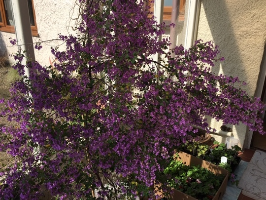 Our prostanthera.
