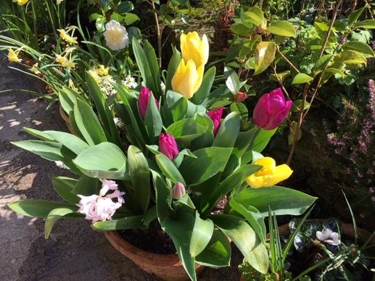 Mixed tulips.