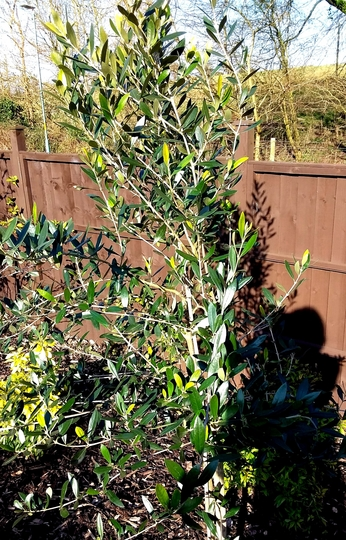 Young olive shrub/tree.