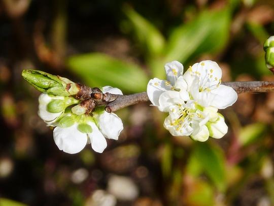 Plum Patio Victoria  (Prunus domestica Victoria)