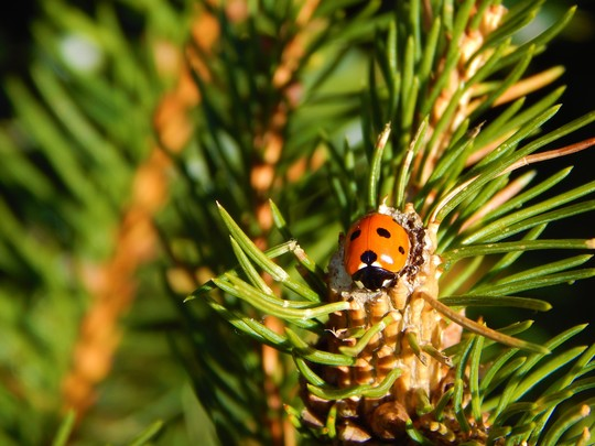 Ladybird on pine
