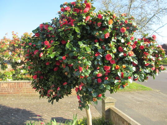 My Red Camellia (Camellia)