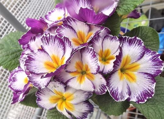 Mauve Stripy Primula