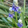 Muscari 'Touch of Snow' - 2020 (Muscari)