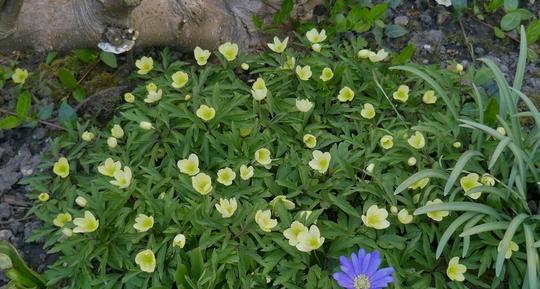 Anemone x lipsiensis - 2020 (Anemone x lipsiensis)