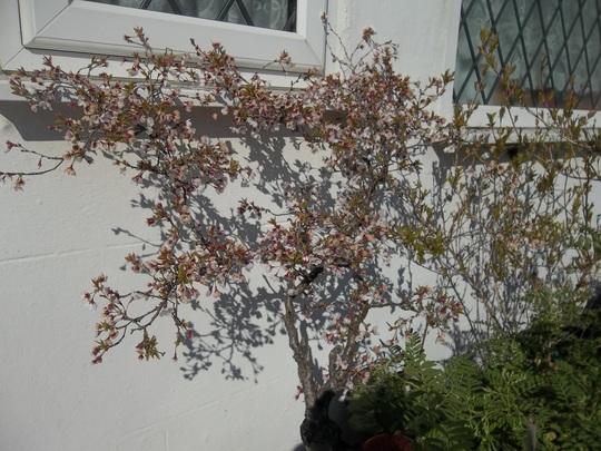 Prunus 'Kojo no mai'